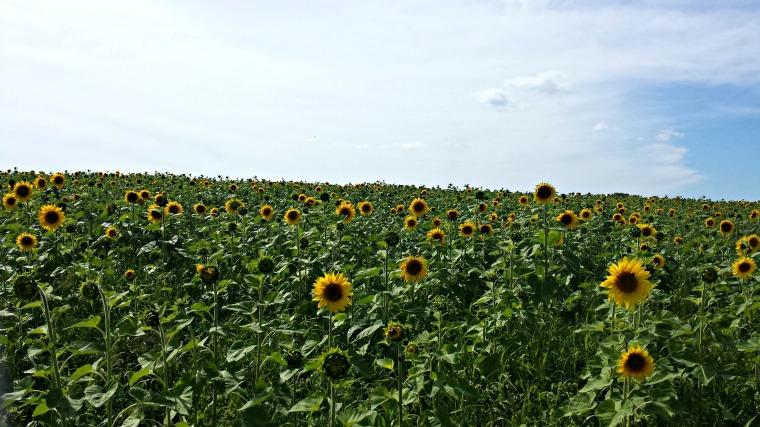 sunflowermaze2
