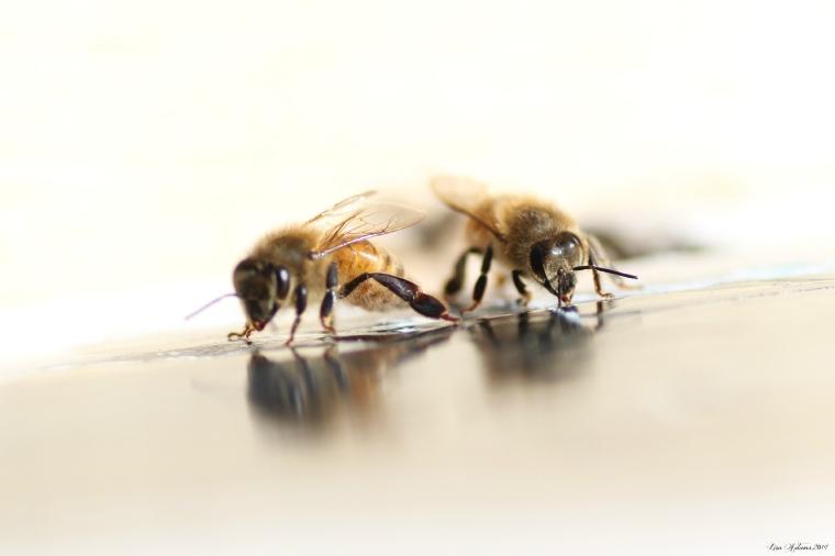 croppedhoneybees
